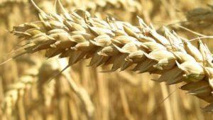 Dieta con meno glutine fa bene a tutti a patto che sia ricca di fibre